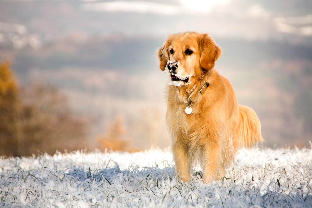 Retriever im Schnee