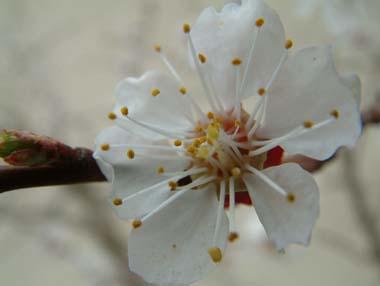 aprikosenblüte